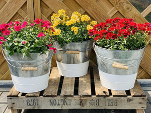 Large Nemesia Filled Zinc Bucket 30cm - Colour Options