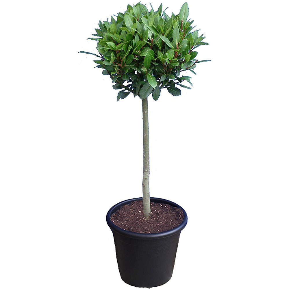 Standard Bay Tree 5 litre Pot with 100cm stem