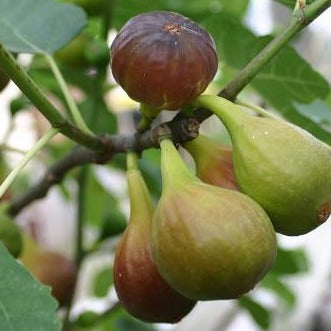 Potted Fig - Ficus Carica - Fruiting tree - Brown Turkey - 3 litre pot