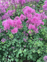 Load image into Gallery viewer, Thalictrum Little Pinkie - 2L Pot
