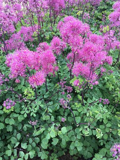 Thalictrum Little Pinkie - 2L Pot