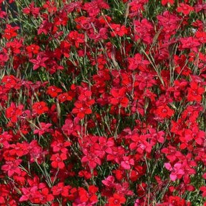 Dianthus deltoides Flashing Lights - Alpine and Rockery - Perennial - 9cm Pot
