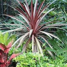 Load image into Gallery viewer, 3x Cordyline Red Star hardy plant- Evergreen Tree 40-60cm tall.