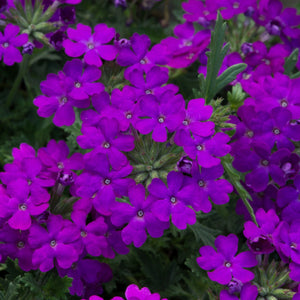 Verbena Purple - 9-10.5cm Pot