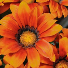 Load image into Gallery viewer, Gazania Kiss Bronze- Garden Ready Bedding 4 Pack - Bells Gardening
