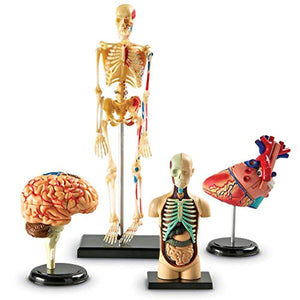 Learning Resources Anatomy Models Bundle Set, Brain, Body, Heart, Skeleton, Classroom Demonstration Tools