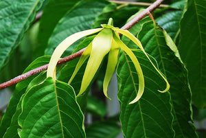 Aromatic Benefits of Ylang Ylang