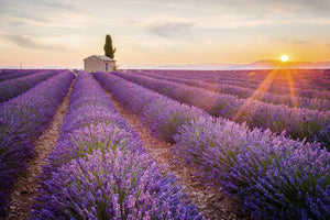 Provence lavender fields.