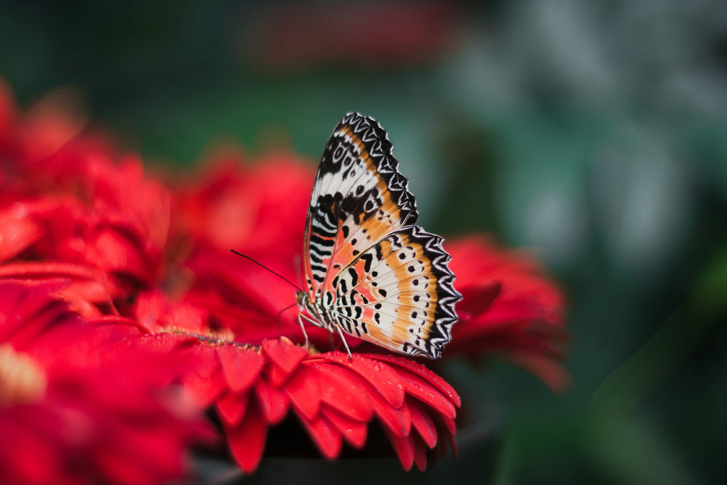 Butterfly-on-red-daisy