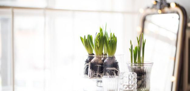 Pots of Hyacinthes in a bright room.