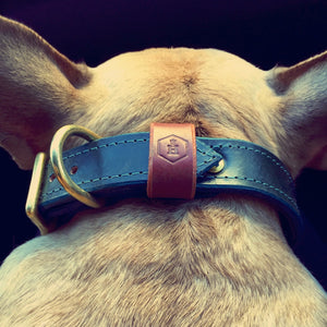 Beige French Bulldog wearing dark green leather dog collar from behind