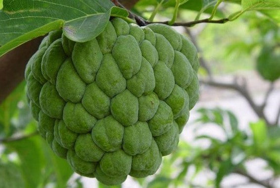 So Good You'll Think it's Bad! - The Custard Apple