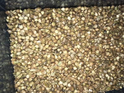 Native Cultivations CBD Hemp Seeds