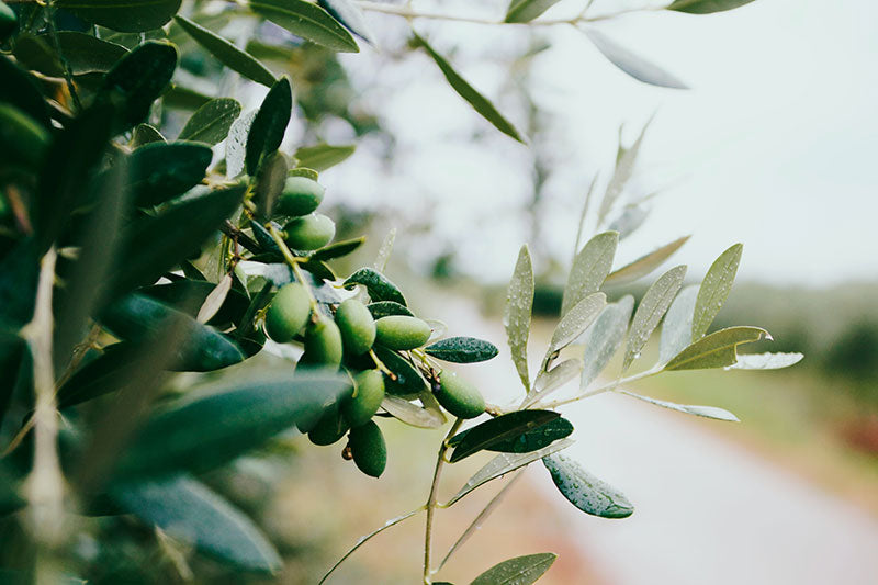 Studies Find That the Olive Has Powerful Health Benefits