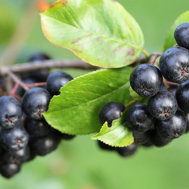 Supplementation With Aronia Berry Extract May Help Improve Blood Pressure and Cholesterol