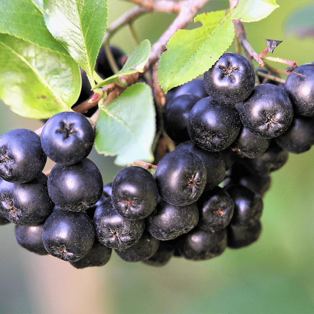 Wild Aronia Berries Natural Healthy