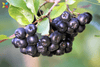 Study Finds Aronia Extract May Help Improve Psychomotor Skills