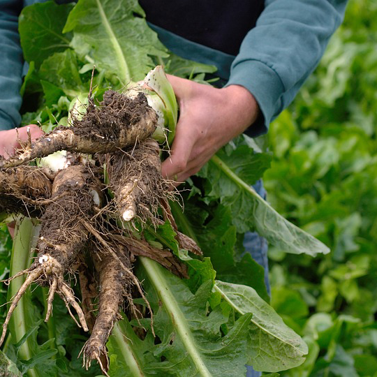 Farmer Holding Chicory Root