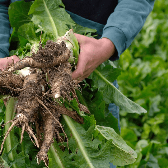 Farmer Holding Root Chicory