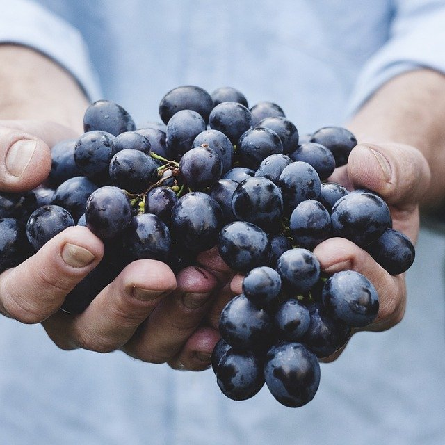 Holding Fresh Picked Grapes