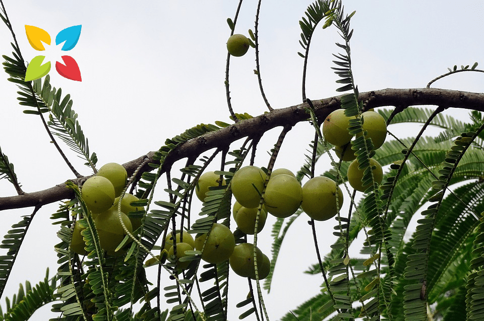 Amla Indian Gooseberry