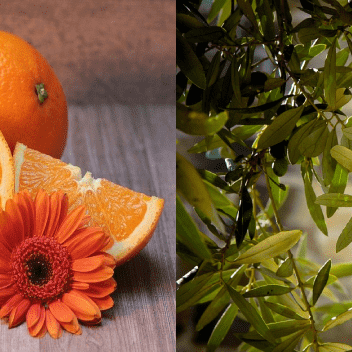Oranges Citrus Olives Tree Leaves