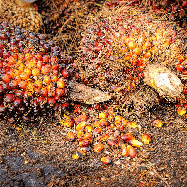 Palm Oil Fruit Harvest