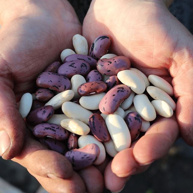 Fresh Beans In Hand Holding