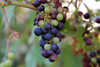 Grape Seed Extract May Help Maintain Healthy Blood Pressure