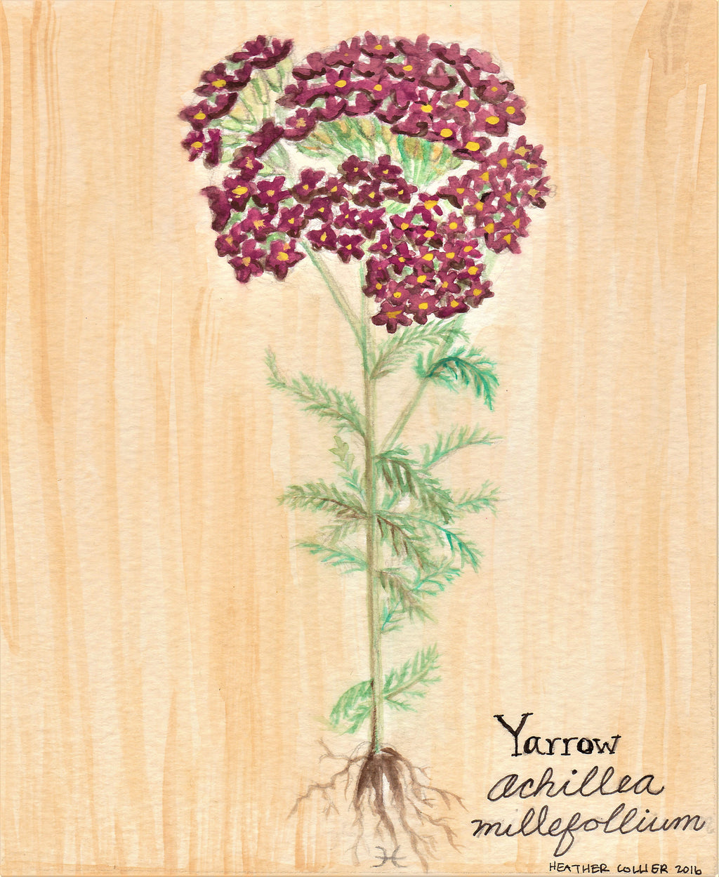 Yarrow Flower Watercolor Painting // Botanical Illustration // Original Artwork Wall Hanging // Yarrow Illustration // Medicinal Herb Garden