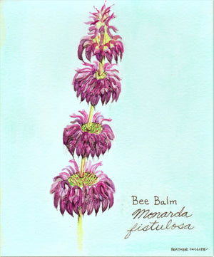 Bee Balm 5x7 Art Print Watercolor / Bee Balm Botanical Illustration / Flower Painting / Medicinal Herb Art / Bee Balm Painting / Herbal Art