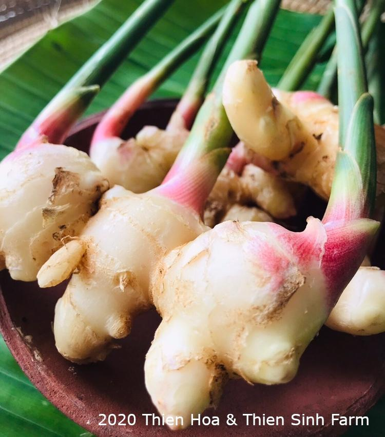 336 T-6 Fresh ginger-Gừng non-新生姜 1kg