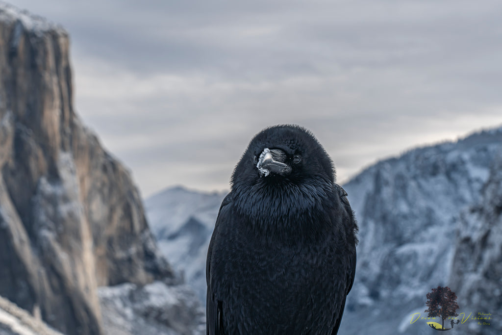 Raven At El Capitan