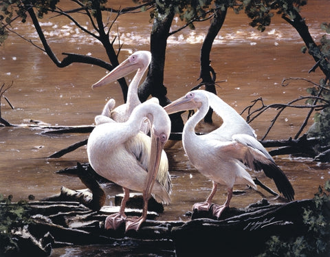 At the Water's Edge white pelican birds wildlife art print animal art artist J. Gaylard
