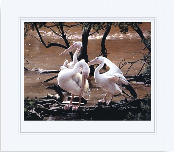 At the Water's Edge white pelican birds wildlife art print animal art artist Jacqueline Gaylard
