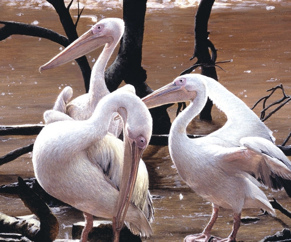 At the Water's Edge white pelican birds wildlife art print detail animal art artist J. Gaylard