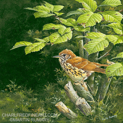 'Song Thrush & Hazel' - Bird Painting