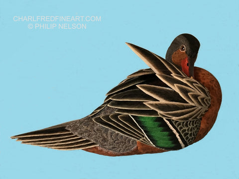 Female Torrent Duck - Philip Nelson