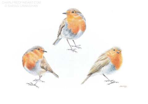 Keeping an Eye on You Robin bird colour pencil drawing. Animal art painting by Sarais Crawshaw.