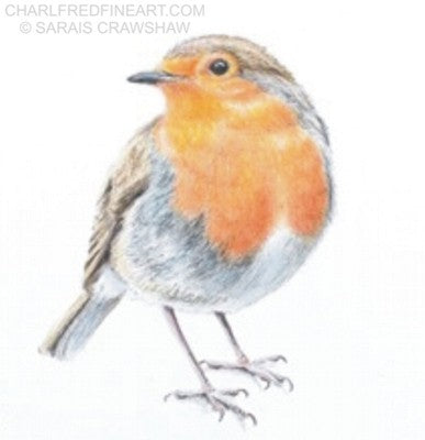 Keeping An Eye On You- Robin bird colour pencil drawing. Animal art by Sarais Crawshaw.