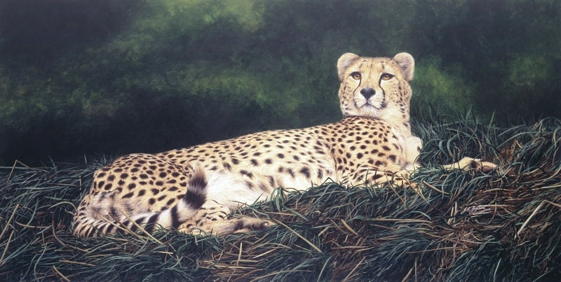 The Distraction Cheetah big cat art print animal art artist Jacqueline Gaylard