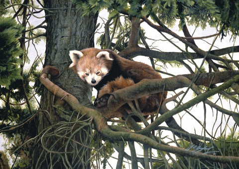 Watching red panda wildlife art print animal art artist Jacqueline Gaylard