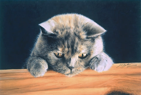 What's New British Shorthair Blue Cream grey cat art print by Jacqueline Gaylard.