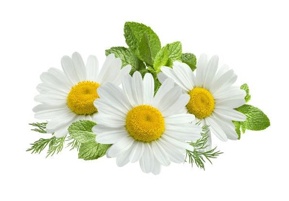 Chamomile for anxiety and stomach aches