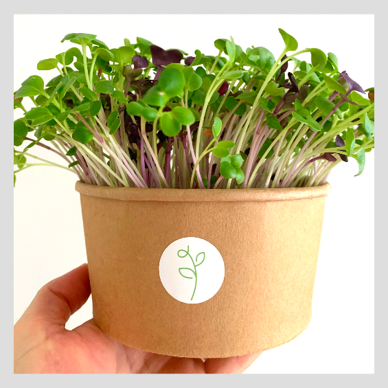 UrbanSproutz Three Musketeers Peppery Medley Microgreens Seeds. Best Microgreens Seeds in Singapore. Fully Organic & Non-GMO. High germination rate - grow healthy Microgreens now! Healthy & Sustainable Living
