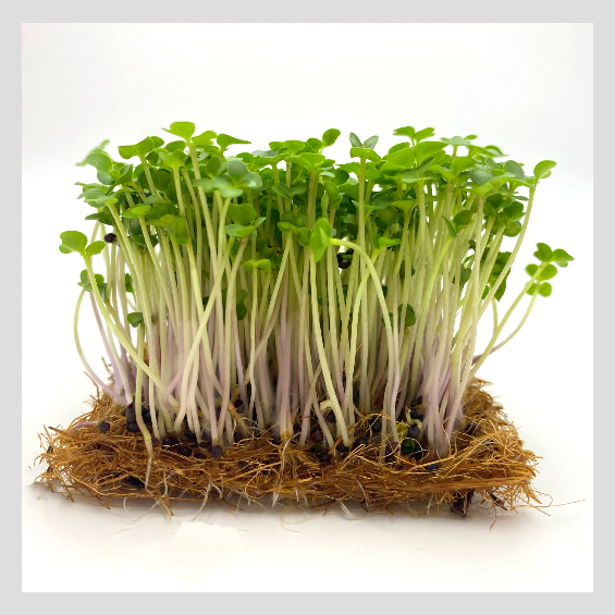 Broccoli Microgreens. Organic and Non-GMO Microgreens Seeds from UrbanSproutz. Best Microgreens in Singapore