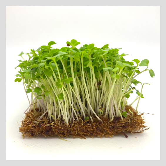 Broccolini Microgreens. Buy Organic & Non-GMO Microgreens Seeds. UrbanSproutz offers the best Microgreens seeds in Singapore.