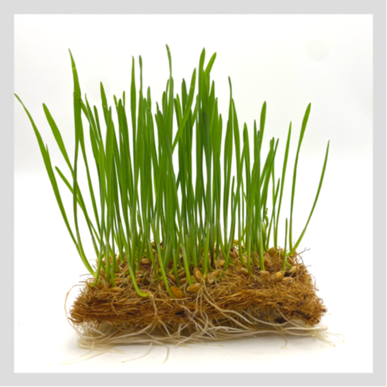 UrbanSproutz Wheatgrass Microgreens Seeds. Best Microgreens Seeds in Singapore. Fully Organic & Non-GMO. High germination rate - grow healthy Microgreens now! Healthy & Sustainable Living