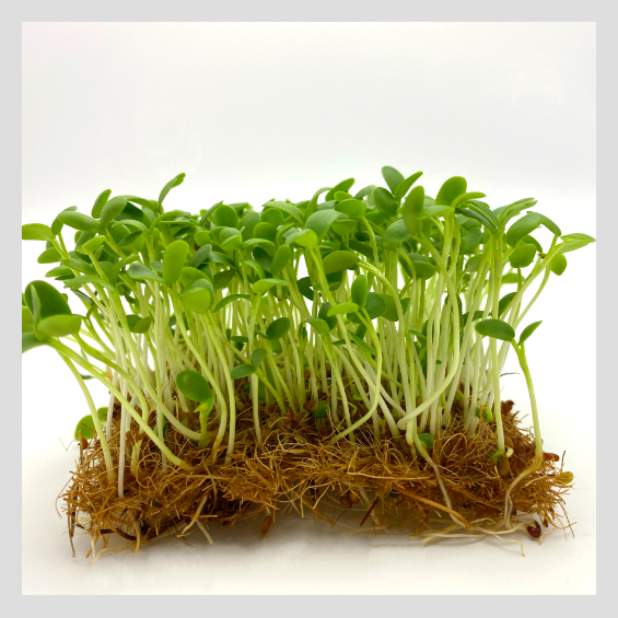 UrbanSproutz Lucky Clover Microgreens Seeds. Best Microgreens Seeds in Singapore. Fully Organic & Non-GMO. High germination rate - grow healthy Microgreens now! Healthy & Sustainable Living