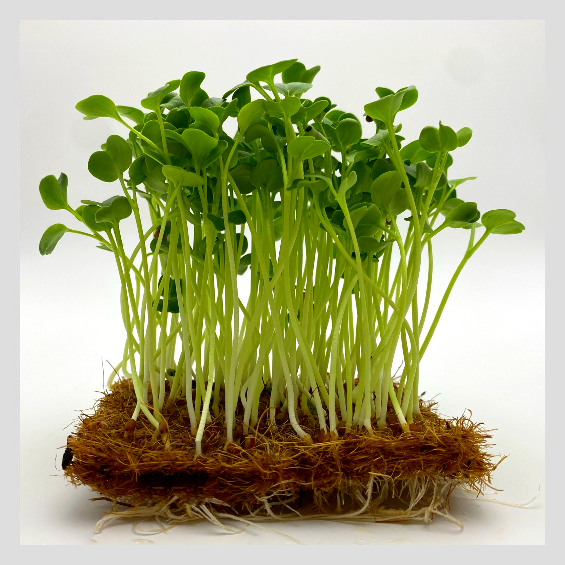 UrbanSproutz Daikon Microgreens Seeds. Best Microgreens Seeds in Singapore. Fully Organic & Non-GMO. High germination rate & grow healthy Microgreens now!